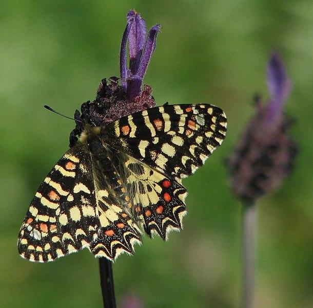 proserpine papillon