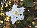 """""""abelha-cachorro"""" - Trigona spinipes - em flor de """"açoita-cavalo-graúdo"""" Luehea grandiflora Mart. & Zucc. (Malvaceae) 02.jpg"""