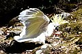 (1)Sulphur crested cockatoo-8.jpg