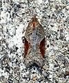 (1038) Acleris laterana (5985284091).jpg