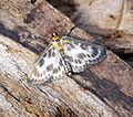 (1376) Small Magpie (Anania hortulata) (18446622399).jpg