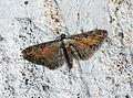 (1838) Tawny Speckled Pug (Eupithecia icterata) (20182978311).jpg