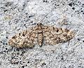 (1857) Dwarf Pug (Eupithecia tantillaria) (17825501690).jpg
