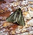(1926) Pale Brindled Beauty (Phigalia pilosaria) (32633253350).jpg