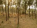 (Casuarina equisetifolia) at Chintapalli beach 01.jpg