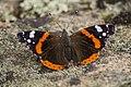 Бабочка Адмирал, семейство Нимфалиды.jpg