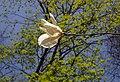 Весна у Стрийському парку. Магнолії та небо.jpg