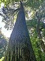 Гигант белорусского леса.jpg