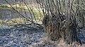 Додаткові корені на кущі верби.jpg