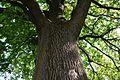 Дуб черешчатий Криниця 3.jpg