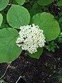 Калина цілолиста (Viburnum lantana)У ботанічному саду ЖНАЕУ.jpg