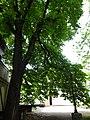Каштан кінський (Одеса, вул. Гаванна, 4) Травень. 2018 рік. 02.jpg