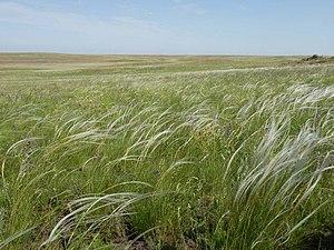 Stipa zalesskii - Image: Красноковыльная степь в Адамовском районе