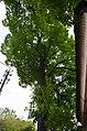 Липа кримська по вулиці Лесі Українки, 60.jpg