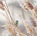 Обыкновенная лазоревка - Cyanistes caeruleus - Eurasian blue tit - Син синигер - Blaumeise (32251319614).jpg