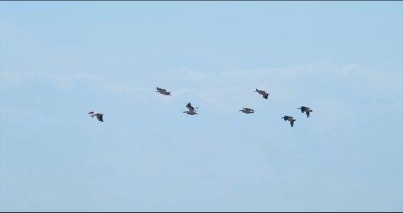 File:Рожеві пелікани.webm