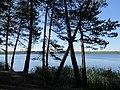 Сосны на берегу.jpg