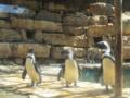 פינגווין שחור-רגל Spheniscus demersus.webp
