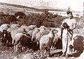 תמרה עם כבשים.jpg