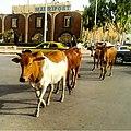 البقر داخل العاصمة نواكشوط.jpg