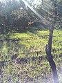 شجرة اللوز الطبيعية.jpg