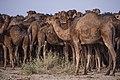 چرای گله شتر - حوالی کاروانسرای دیر گچین قم - پارک ملی کویر 25.jpg