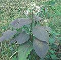 ফুলসহ ভাঁট গাছ Clerondendron viscosum..jpg