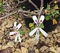 天竺葵屬 Pelargonium xerophyton -比利時 Ghent University Botanical Garden, Belgium- (9227007479).jpg