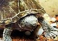 屋頂龜 Zazorback Turtle - panoramio.jpg