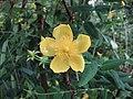 展萼金絲桃 Hypericum lancasteri -倫敦植物園 Kew Gardens, London- (9213307305).jpg