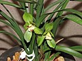 春劍荷王 Cymbidium longibracteatum 'Lotus King' -香港沙田國蘭展 Shatin Orchid Show, Hong Kong- (12304389974).jpg