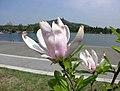 木蘭屬 Magnolia 'George Henry Kern' -上海辰山植物園 Shanghai Chenshan Botanical Garden- (17075869640).jpg
