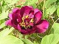 牡丹-紫紅綾 Paeonia suffruticosa 'Purplish Red Silk' -洛陽西苑公園 Luoyang, China- (12496211303).jpg