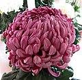 菊花-東海壹樂 Chrysanthemum morifolium -香港圓玄學院 Hong Kong Yuen Yuen Institute- (11961611544).jpg