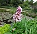 蒜 Allium sativum -比利時 Ghent University Botanical Garden, Belgium- (9200949216).jpg