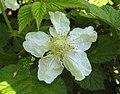 蓬藟 Rubus hirsutus -上海辰山植物園 Shanghai Chenshan Botanical Garden- (17082220497).jpg
