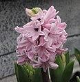 風信子 Hyacinthus orientalis Pink Pearl -香港花展 Hong Kong Flower Show- (9193443984).jpg