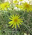 黃花新月 Othonna capensis -比利時國家植物園 Belgium National Botanic Garden- (9213351969).jpg