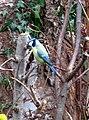 -2018-12-01 Blue Tit (Cyanistes caeruleus), Trimingham (3).JPG