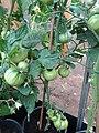 -2019-07-10 Un-ripe fruit on varity 'Sub Arctic Plenty' Tomato Plants, Trimingham (1).JPG