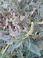 .முள்ளுக்கீரை- (Amaranthus spinosus ) 3.jpg