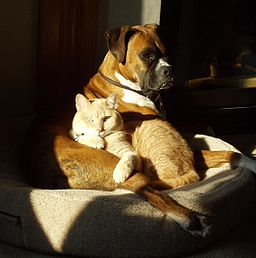 041115 Brindle Boxer and house cat
