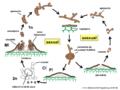04 03 55b ciclo de vida Asterinaceae, Ascomycota (T.A. Hofmann & M. Piepenbring).png