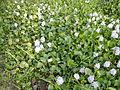 06339jfBarangay Eichhornia Flowers Pansinao Candaba Mount Arayat Pampanga Riverfvf 17.JPG