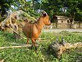 09409jfCattle goats grasslands Roads San Miguel, Bulacanfvf 03.jpg