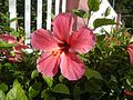 0985jfHibiscus rosa sinensis Linn White Pinkfvf 10.jpg