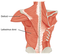 1119 Muscles that Move the Humerus b.png