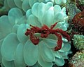 1228RajaAmpatS - 32 orangutan crab in need of hairbrushing (5556219292).jpg