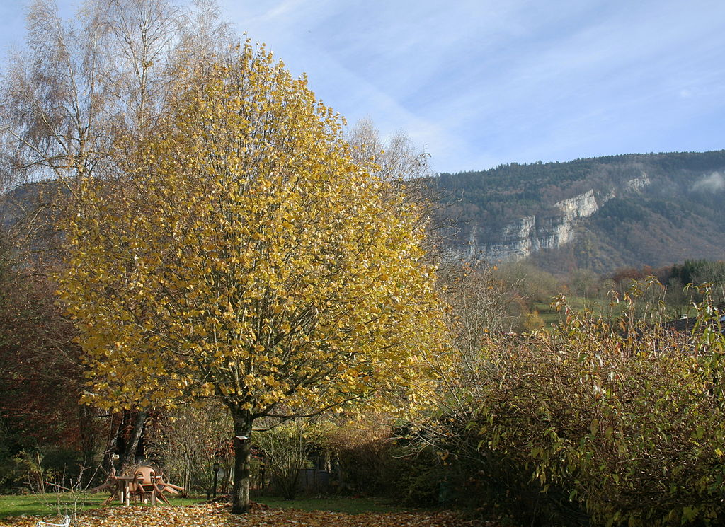 File 15 year old lime tree haute savoie for Haute savoie