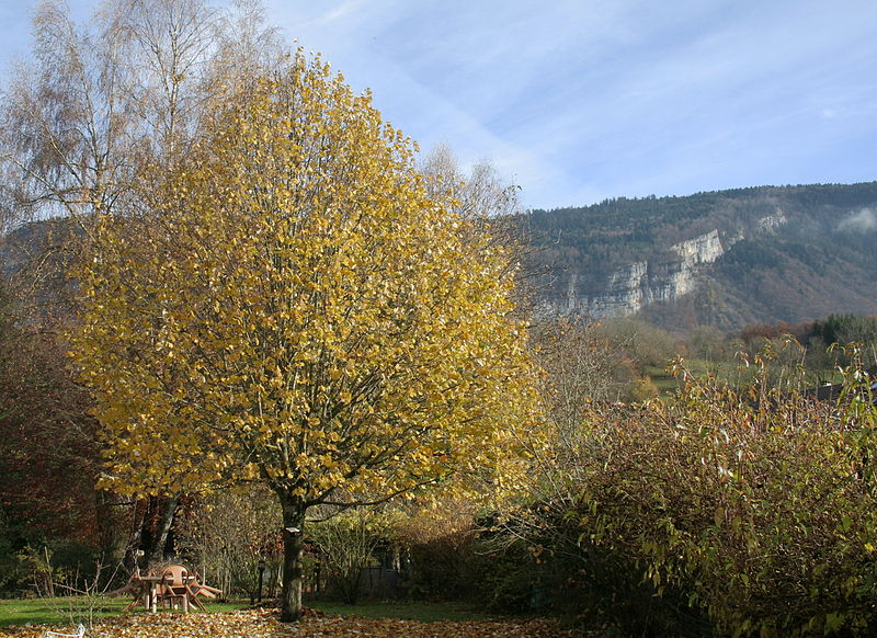 File:15 year old lime-tree, Haute-Savoie, France.jpg
